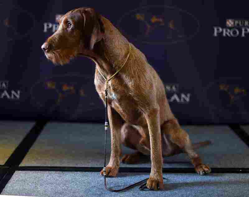Falko, a wire-haired vizsla — a new breed for 2015 — poses for a press conference before the start of the show at Westminster.
