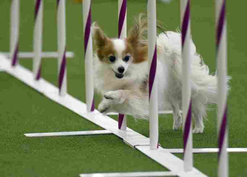 A dog competes in the agility ring during the Masters Agility Championship at the Westminster dog show.