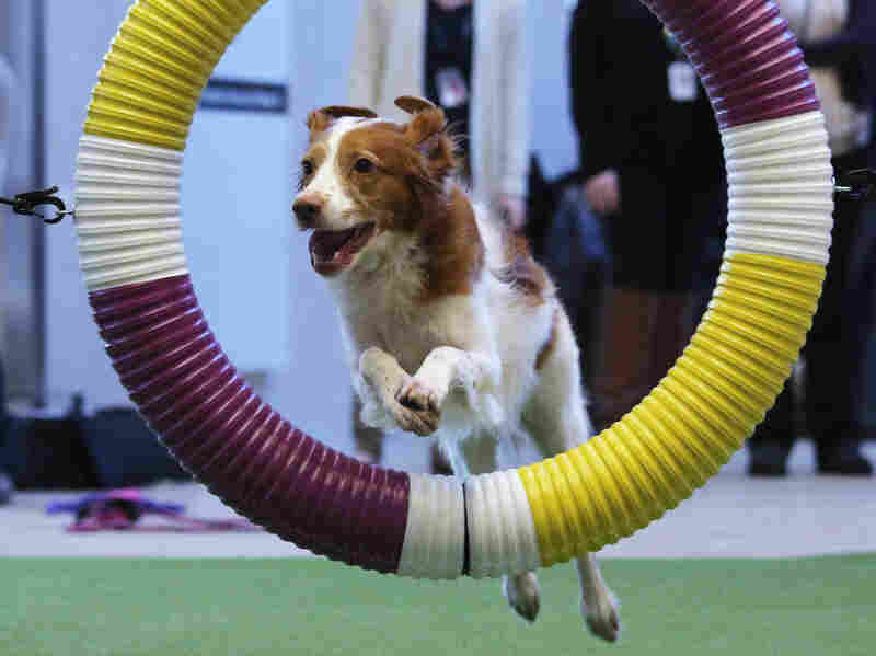 Mimi, a Brittany spaniel rescue dog, demonstrates skills for the agility competition.