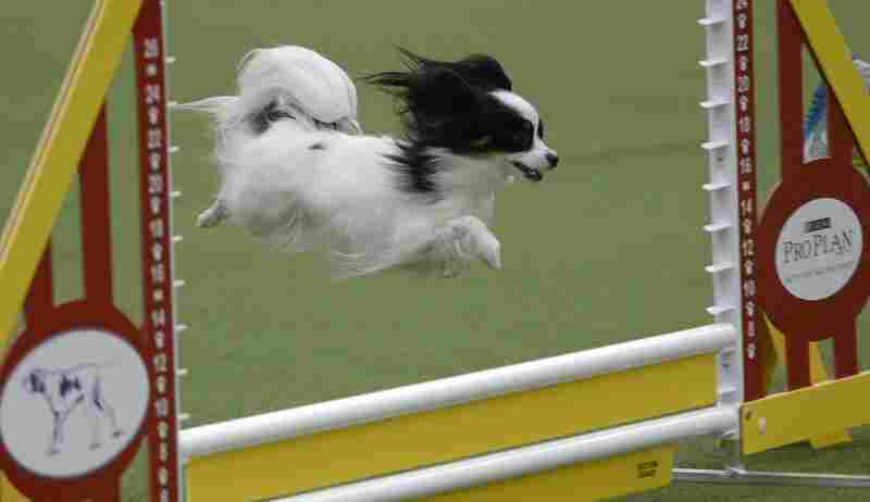 A papillon competes in the agility ring.
