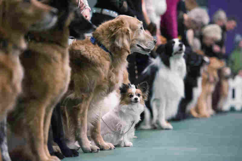 Dogs line up for the obedience competition during the dog show.