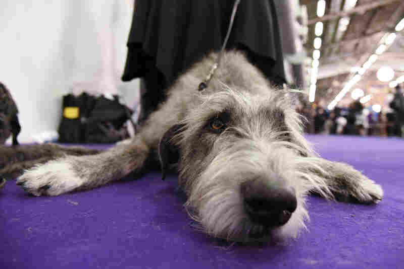 An Irish wolfhound chills in the grooming area.