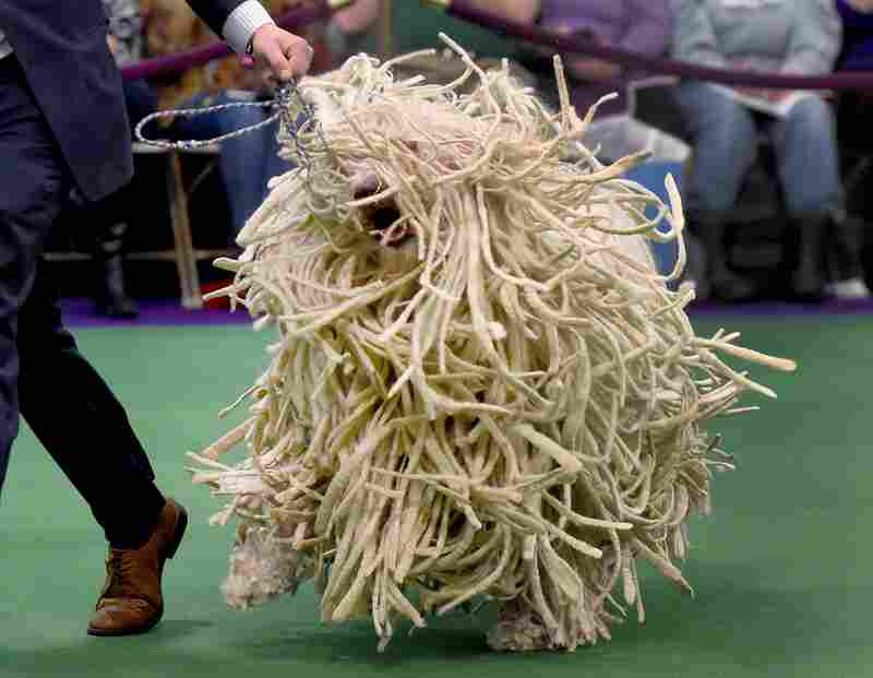 A komondor shows its stuff in the judging ring.