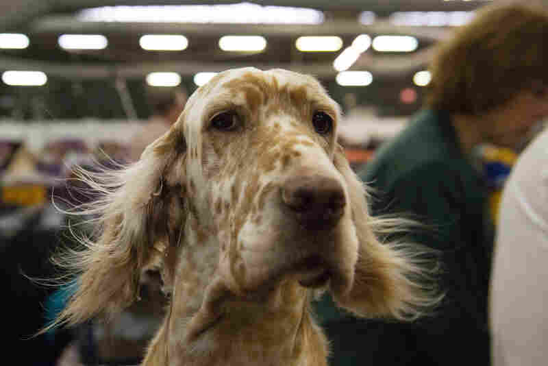 An English setter gets a blow-dry in the grooming area.