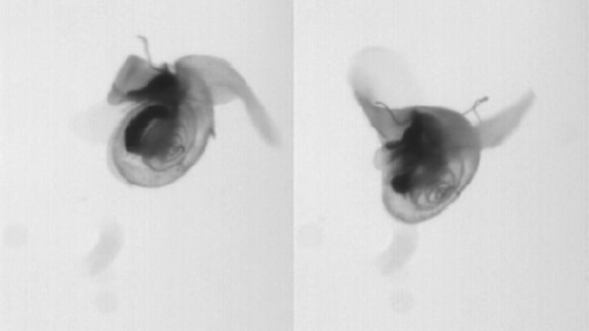 WATCH: Incredible Tiny Snail Beats Its Watery Wings And 'Flies'