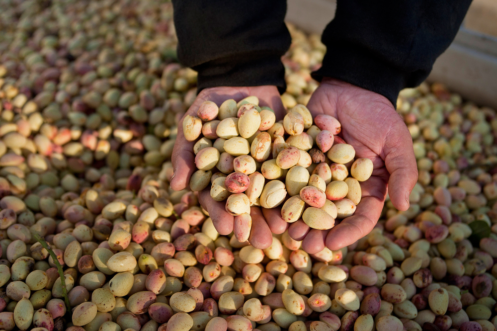 A ranch manager holds pistachios at a farm in Madera, Calif. The lifting of sanctions on Iran has California growers worried that Iranian pistachios will flood the U.S. market.