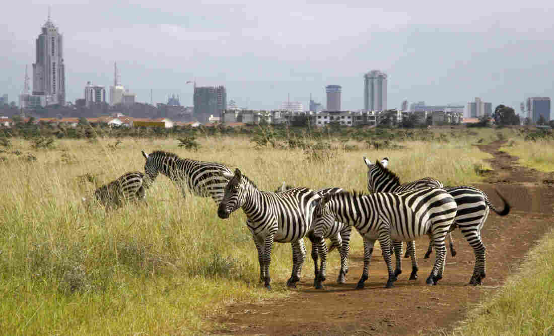 The city skyline is seen behind a group of zebras in the Nairobi National Park in Nairobi, Kenya, where, lions, rhinos and other animals roam just miles from downtown.