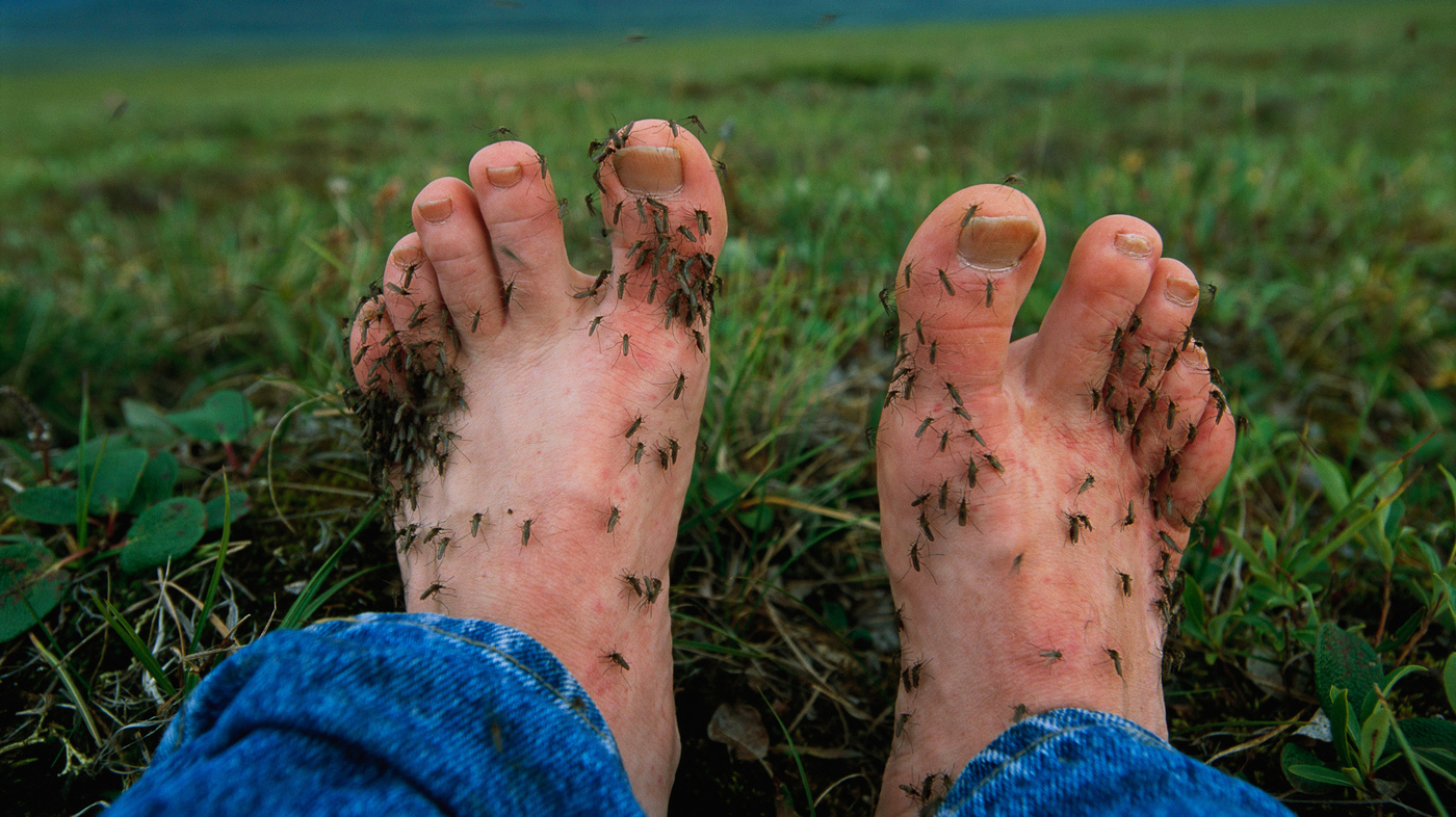 Researchers Have Determined Why Mosquitoes Find Ankles And ...