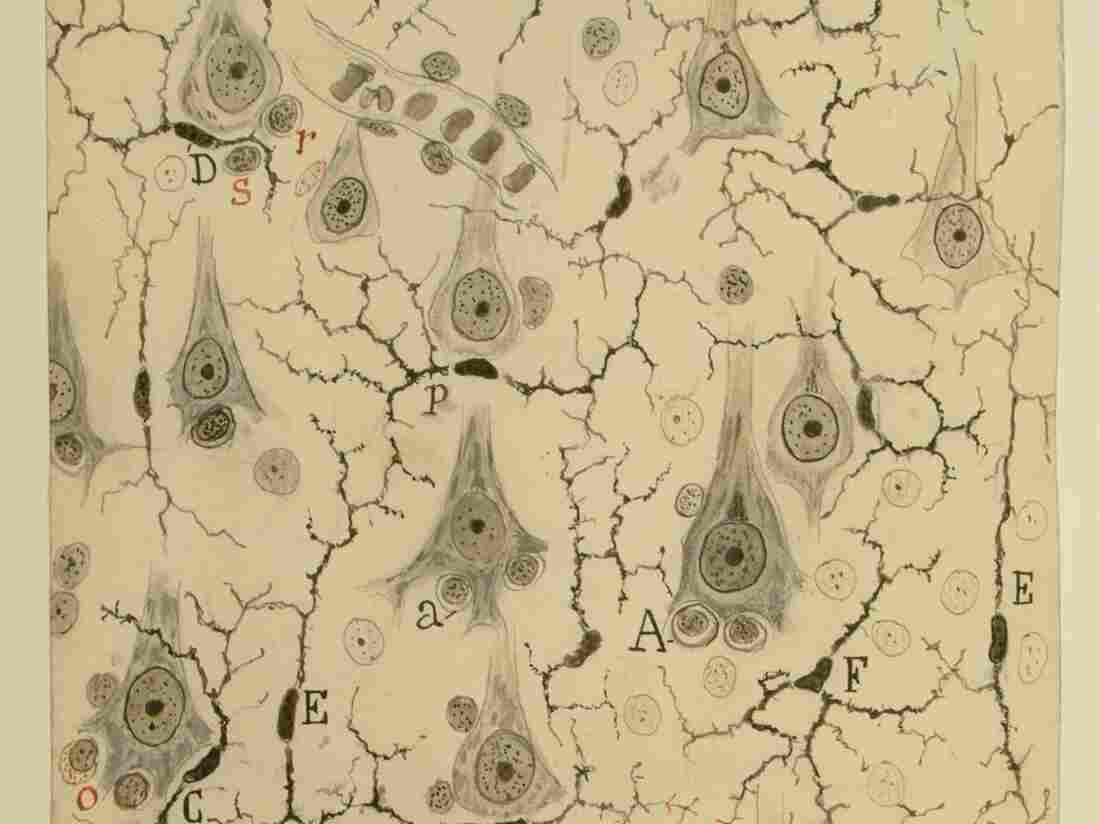 Santiago Ramón y Cajal: Microglia in the grey matter of the cerebral cortex, 1920; Chinese ink and graphite on paper; 69-5/16 x 6 5/32 in.