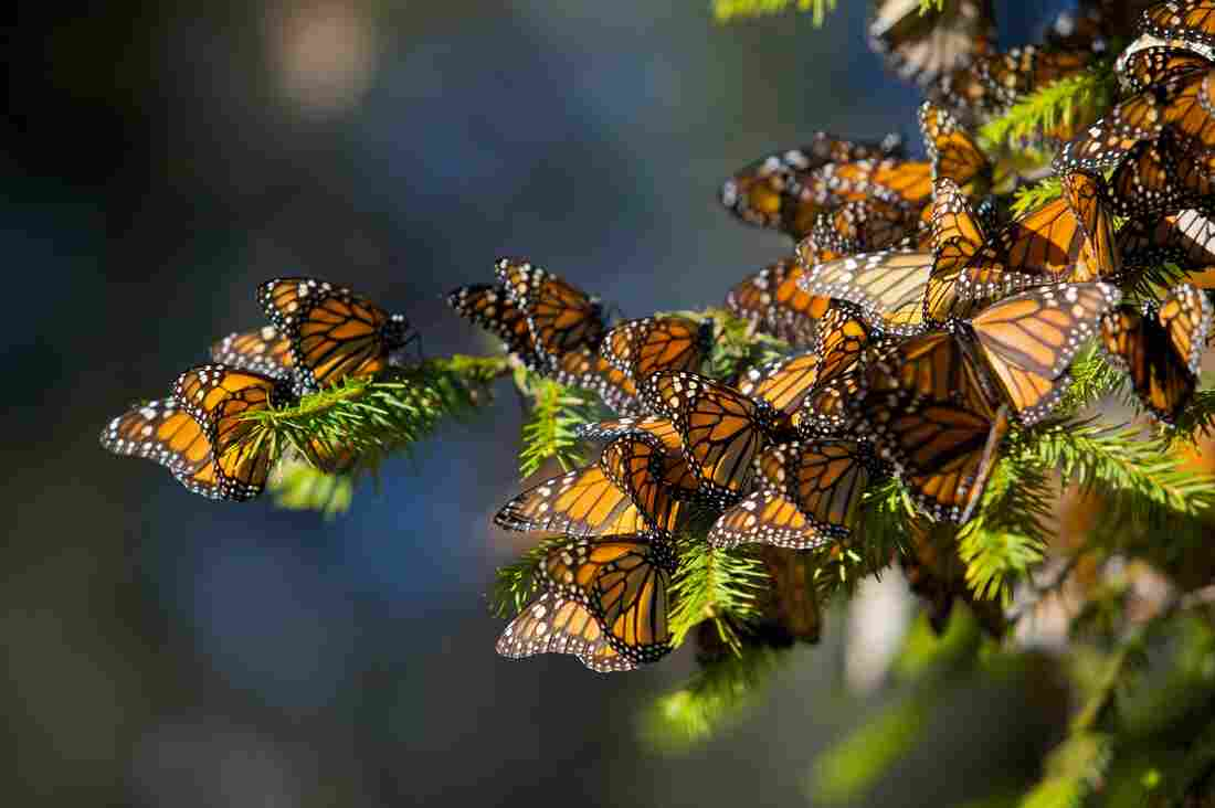 Monarch butterflies mass on a tree branch in the Cerro Chincua mountain at the Monarch Butterfly Biosphere Reserve in Cerro Chincua, central Mexico.