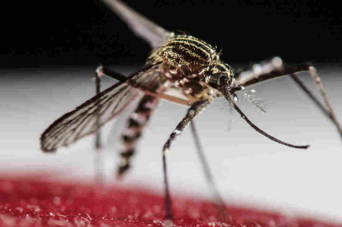 The mosquito Aedes aegypti is a spreader of Zika virus.