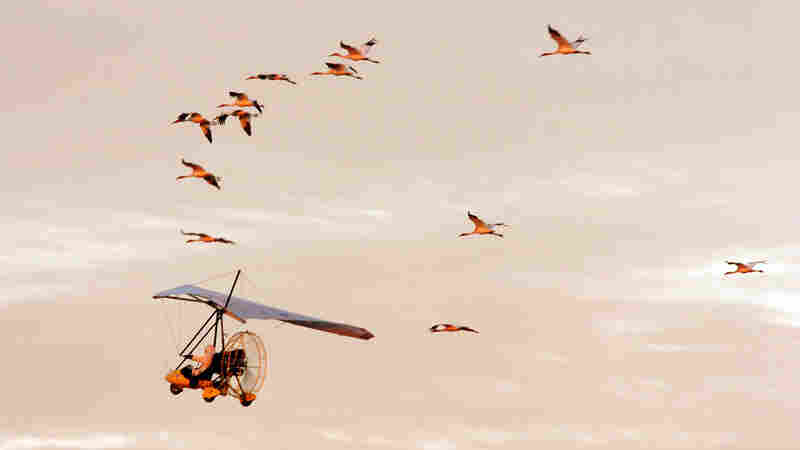 For 15 years, biologists in single-person, ultralight aircraft would each lead an experimental flock of young whooping cranes from Wisconsin to a winter home in Florida. But not anymore.