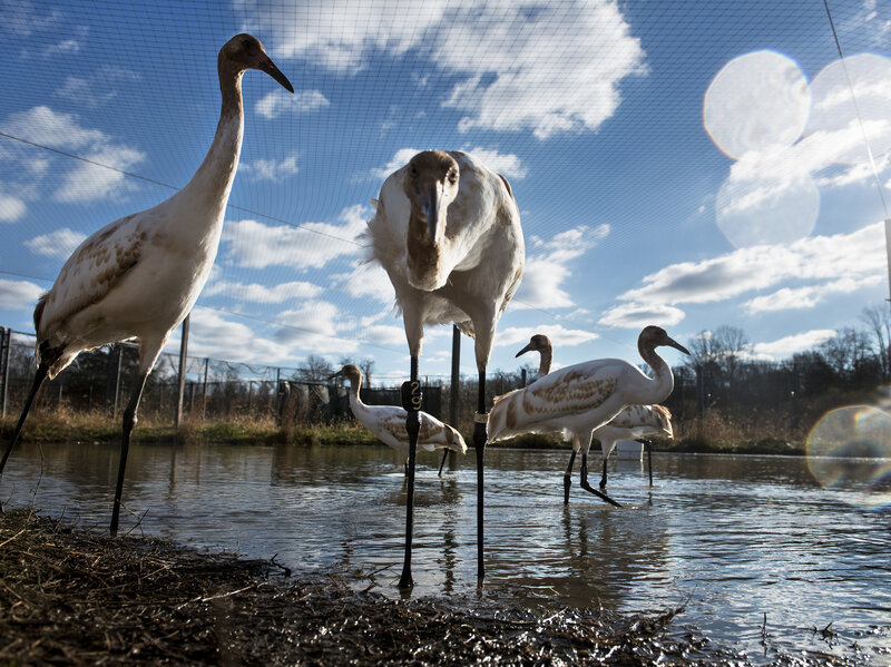 I Hope This Crane Is Just Hiding Other >> To Make A Wild Comeback Cranes Need More Than Flying Lessons Npr