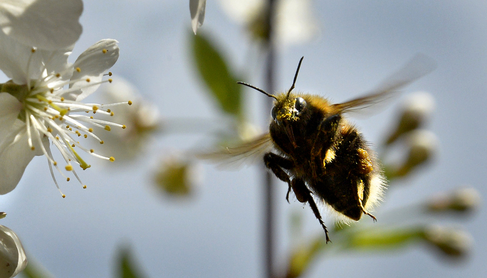 A bumblebee gathers pollen from a cherry blossom in a garden outside Moscow.