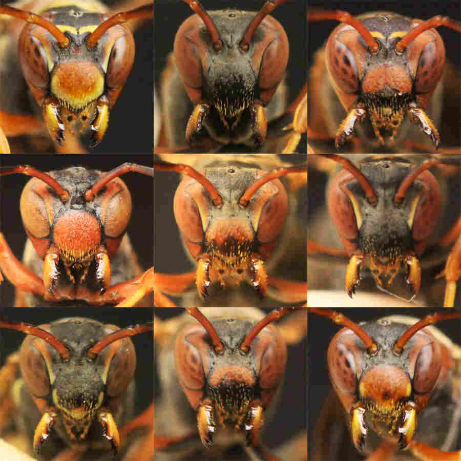 Facial spots, speckles and stripes can all be used to tell wasps apart. Elizabeth Tibbetts figured out that the insects recognize the differences in faces, just as humans do.