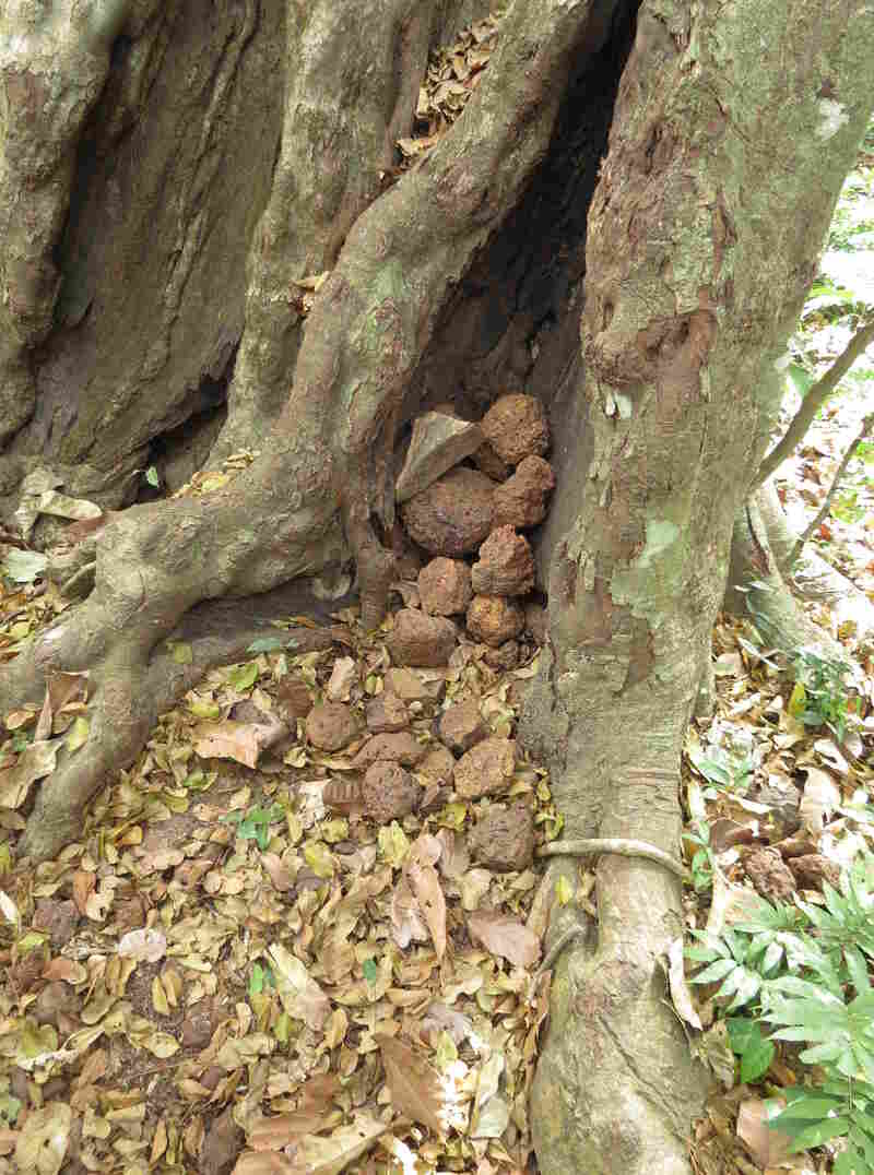 Chimpanzees created this cache of stones in a tree trunk in Boé, Guinea-Bissau.