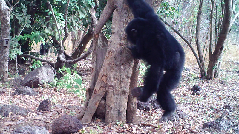 Adult male chimpanzee tossing a stone at Boé, Guinea-Bissau.