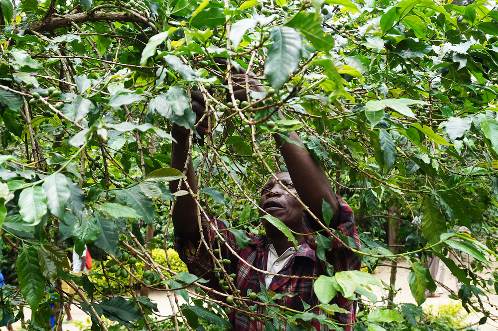 Emmanuel Baziruwile, 54, works at a coffee plantation in Cyimbiri, Rwanda.