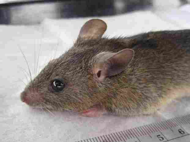 The multimammate mouse can transmit Lassa virus to humans. The virus is likely spread when the rodent urinates or defecates on grain supplies.