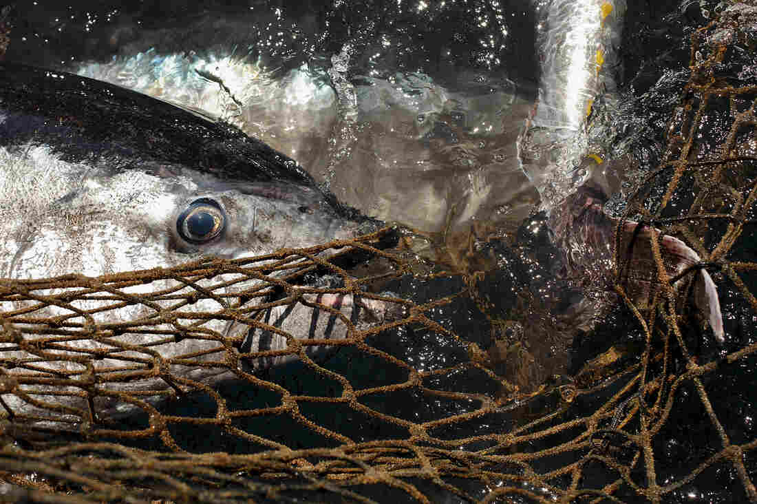 Atlantic bluefin tuna caught in fishers' nets.
