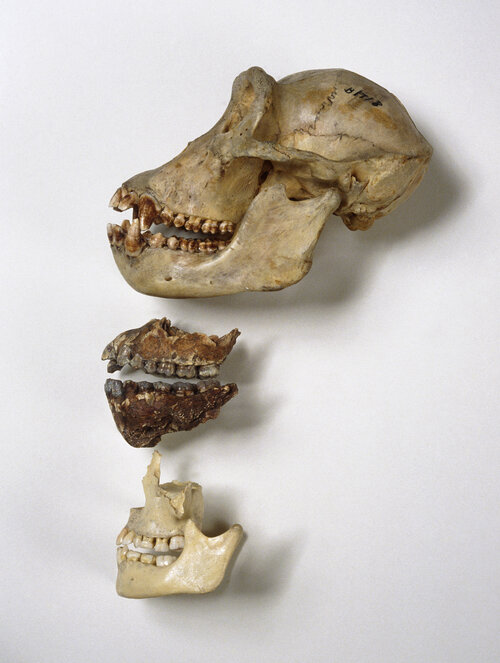 Nom Nom: Chimpanzee skull (top), A. afarensis jaws (center) and human jaws. It's likely that tool use and meat-eating reduced the evolutionary pressure to have big, powerful jaws and sharp teeth, the researchers behind a new Nature study say.