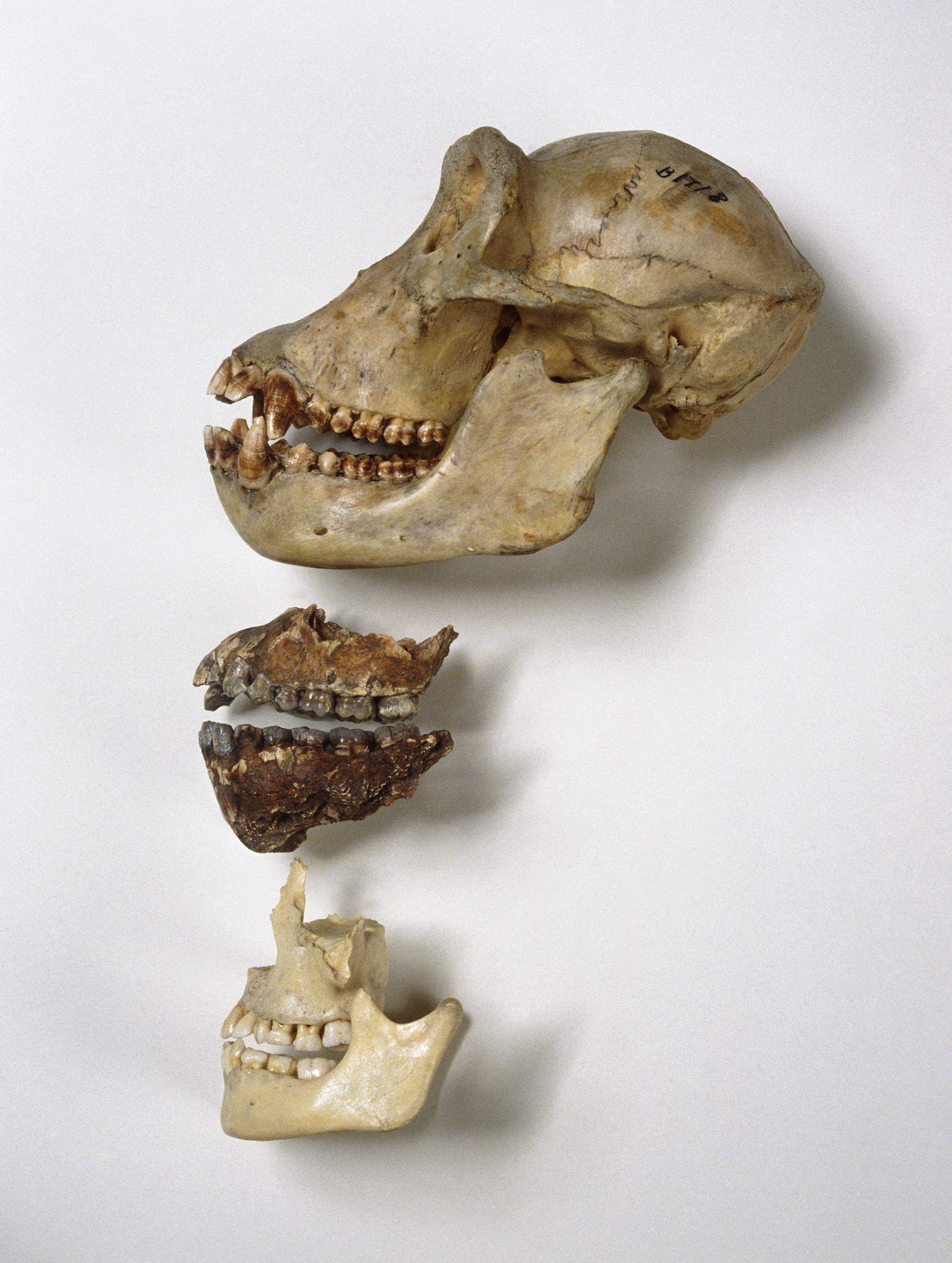 Chew On This: Slicing Meat Helped Shape Modern Humans