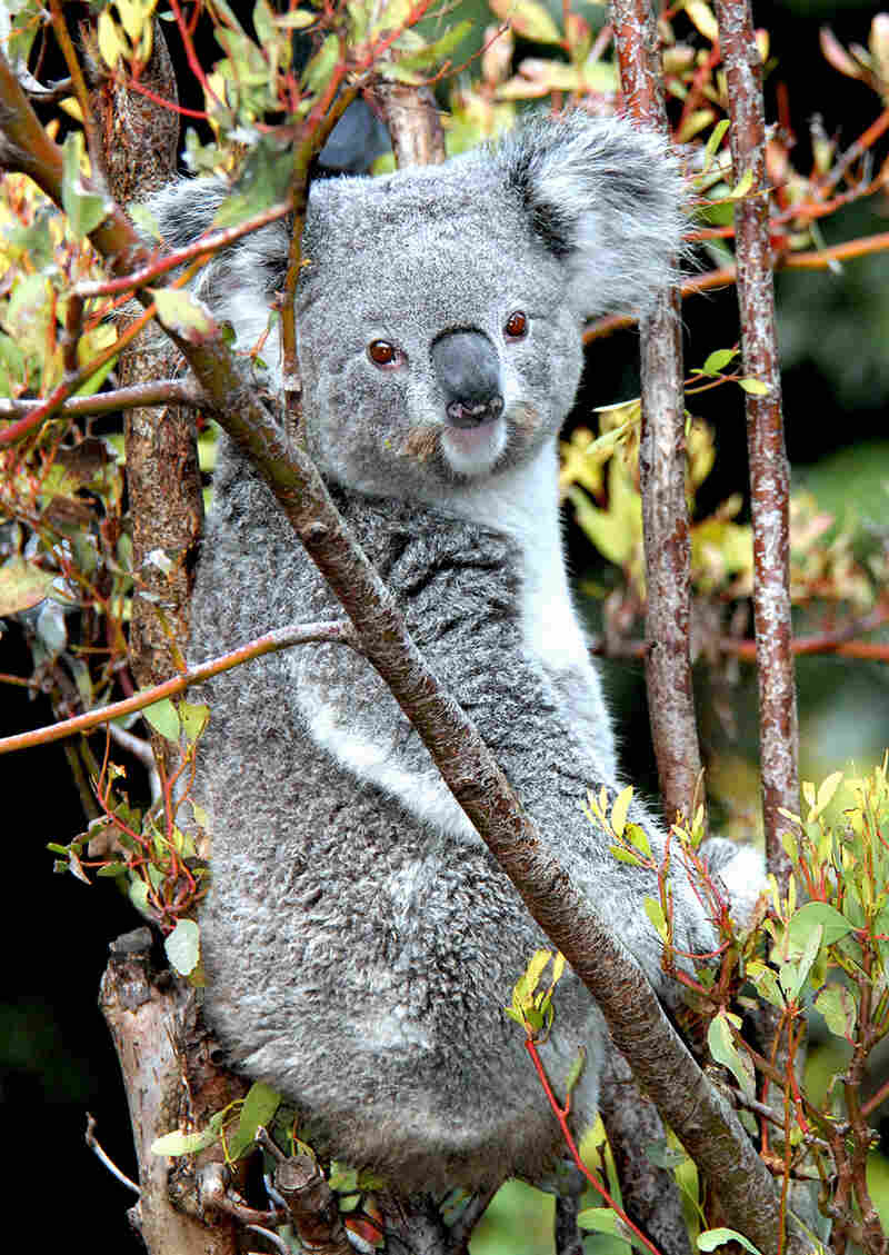 The LA Zoo didn't have a photo of Killarney on file — this is a different koala of theirs — but, you know, it's a good reminder that koalas are pretty cute.