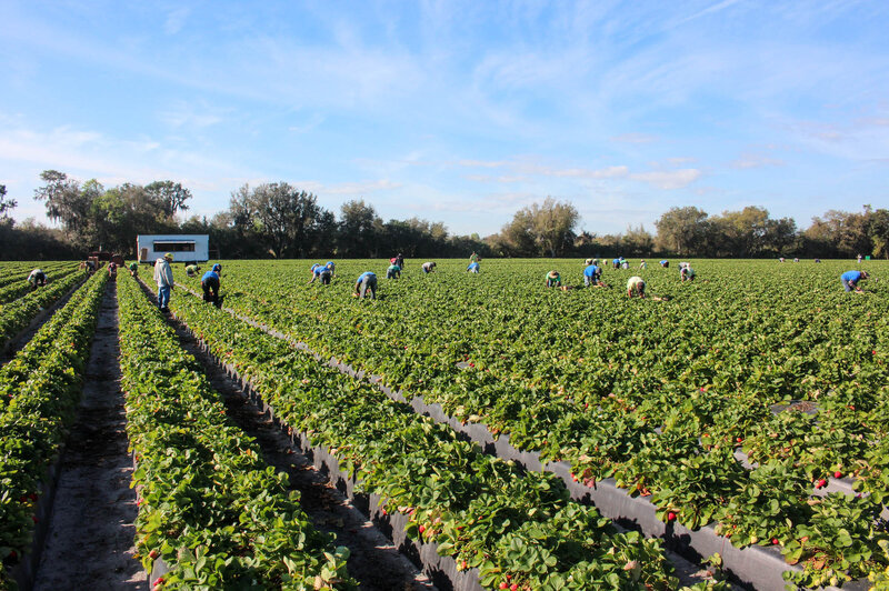 In Florida Strawberry Fields Are Not