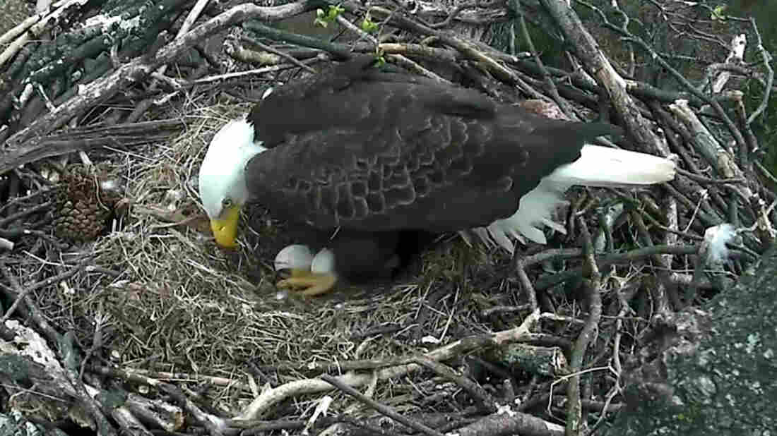 "Eagles known as ""Mr. President"" and ""The First Lady"" have been incubating two eggs at their nest inside the National Arboretum."