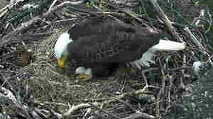 Egg-Cam Watch: Bald Eaglet May 'Pip Out' In D.C. Tuesday