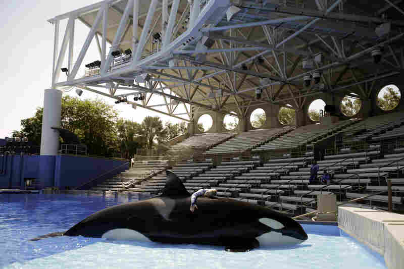 Sea World trainer Michelle Shoemaker hugs Kayla as she works on a routine before a show in 2014 in Orlando, Fla. SeaWorld Parks & Entertainment Inc. has faced criticism over its treatment of its captive killer whales, or orcas, since the release of the highly critical documentary, Blackfish.