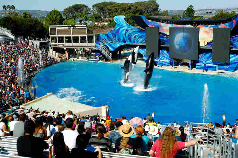 Orcas perform during the One Ocean show at Aquatica by SeaWorld, San Diego in 2015.