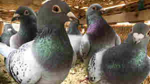 Pigeons Are London's Newest Pollution Fighters