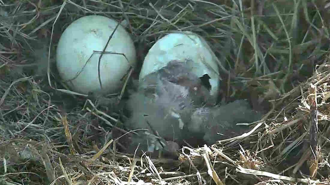 Eagle Egg Hatching Baby Eaglet Emerges Fr...