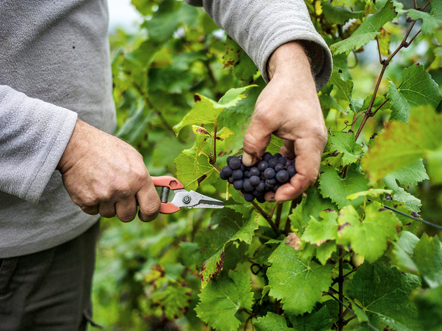 A worker cuts a cluster of grapes in the Burgundy region of France during the harvest period. Global warming has made conditions historically associated with great wines more frequent in Bordeaux and Burgundy, a study finds. But things look less bright for California vineyards.