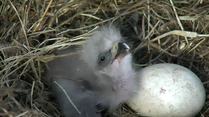 Eaglet Number 2 Is On The Way For America's 'Most Patriotic Nest Cam'