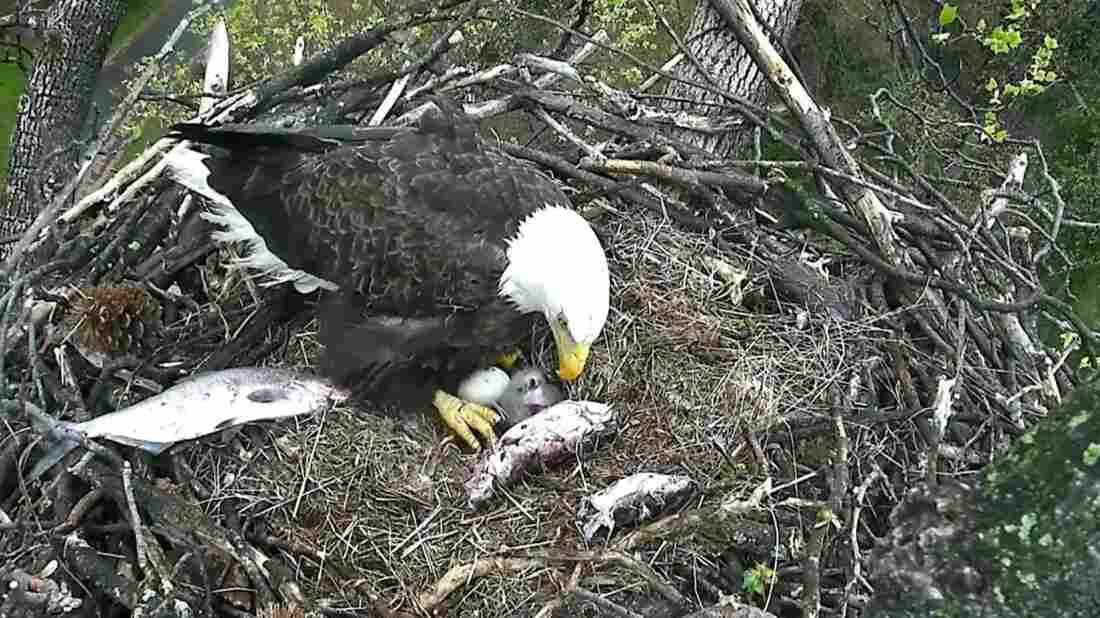 Surrounded by the remnants of dinner, one of the adult bald eagles watches over the eaglet and the hatching egg. Both the male and female — that is, both Mr. President and The First Lady — take turns in the nest.