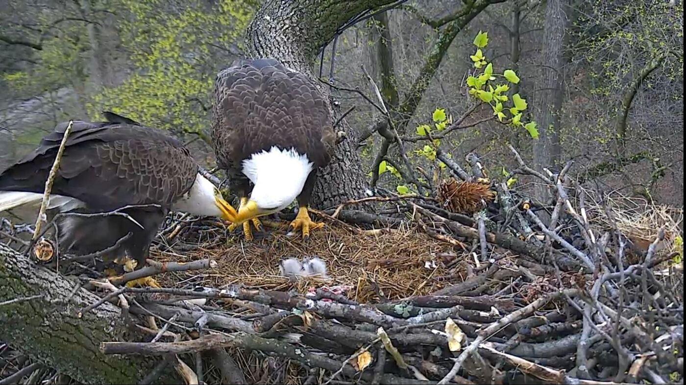 D.C. Eagle Cam Captures Second Eaglet Emerging : The Two ...