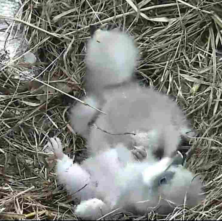 The younger eaglet takes a tumble as the two birds sit in the nest, watched over by a parent.