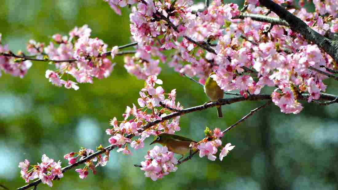 Japanese white-eyes perch on the branch of a bloomed cherry blossom near the Kukurigawa River on March 7, 2016, in Hita, Oita, Japan.
