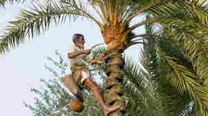 Disease Detectives Find A Really Good Reason Not To Drink Date Palm Wine