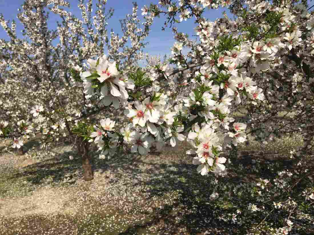 Ben Barra guesses there are a couple of thousand acres of the Independence almond variety in California. He says there is a growing waiting list for new sprigs of the tree.