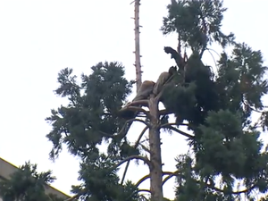 After 24 Hours, Man At Top Of 80-Foot Sequoia Tree Climbs Down