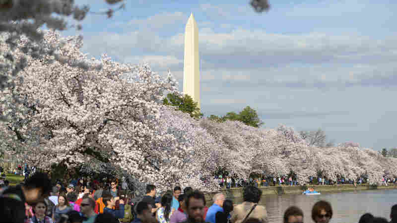 Cherry blossoms are seen in full bloom on the Tidal Basin on Friday in Washington, D.C. Officials are urging visitors to leave their drones at home.