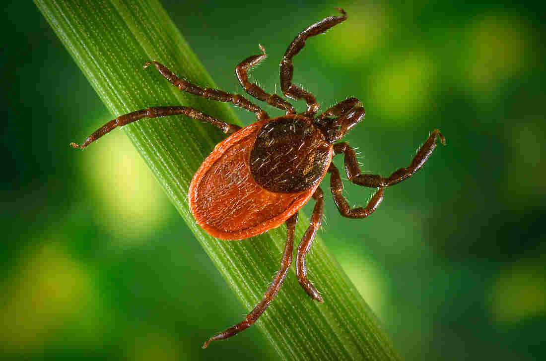 A bite from a blacklegged tick can transmit Borrelia burgdorferi bacteria, which cause Lyme disease.