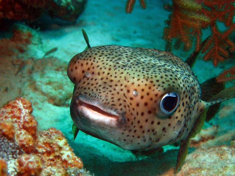 A puffer fish.