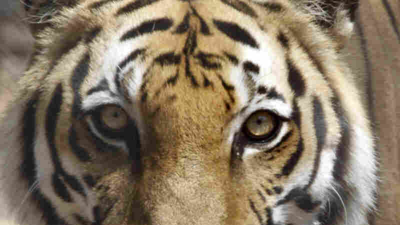 Cambodia Launches Plan To Reintroduce 'Functionally Extinct' Tigers