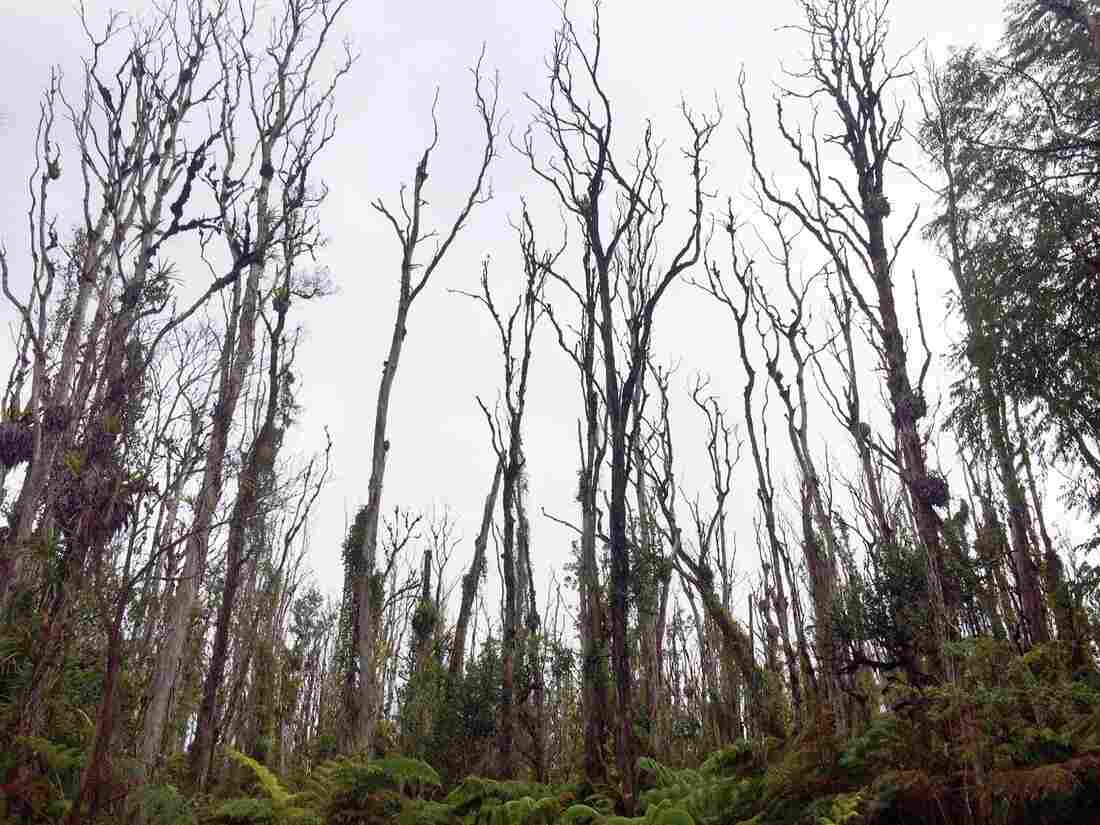 Scientists say five years ago, this was a lush, green native forest. But a deadly fungus is killing thousands of 'ōhi'a trees. This is the Big Island, where researchers believe the disease first took hold.