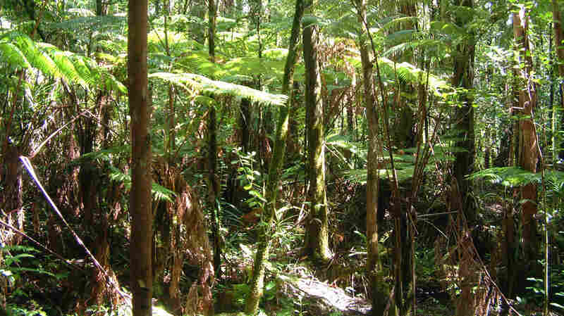 A photo taken in 2005 shows the Hawai'i Island rainforest before it succumbed to Rapid 'ōhi'a Death.