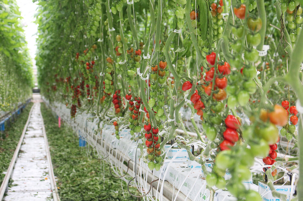 How Canada Became A Greenhouse Superpower The Salt NPR - Us growing table for tomatoes via map